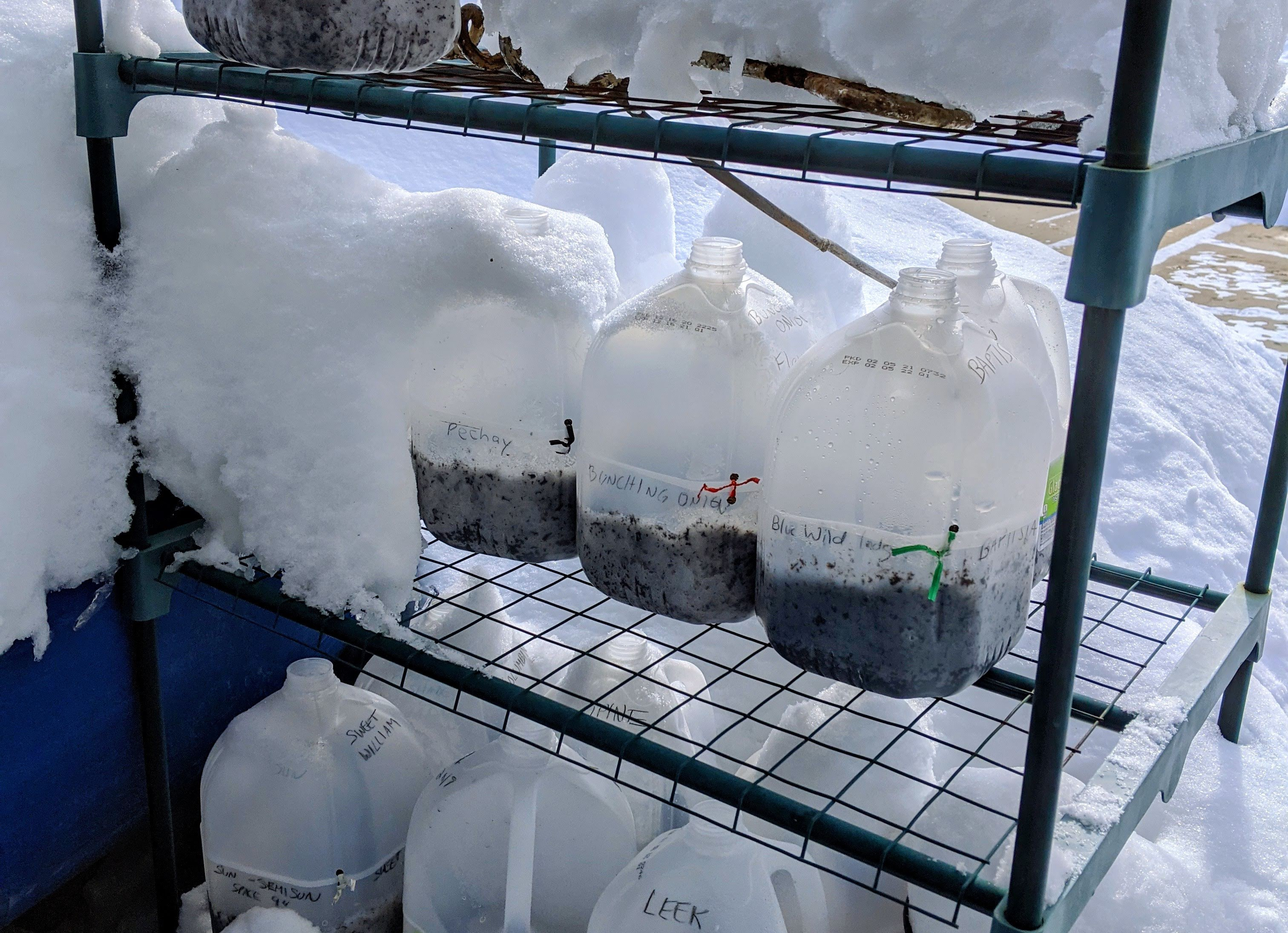 Winter Sowing Containers Outside in the Snow